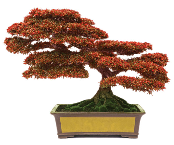 Bonsai With Red Leaves PNG Image