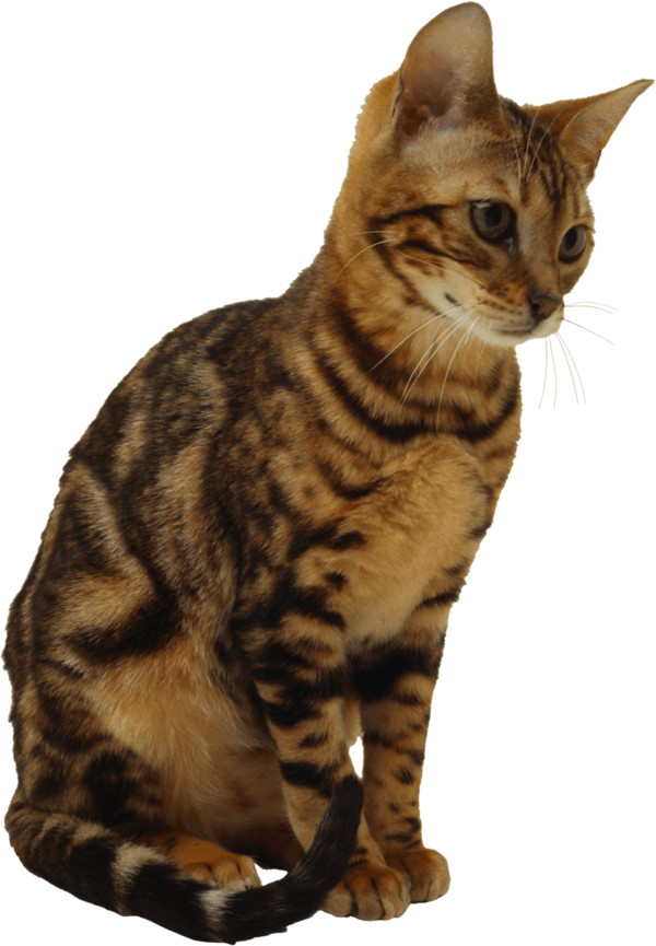 Kitten    Picture PNG Image