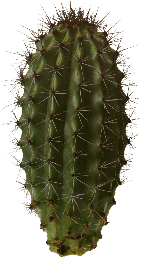 Isolated Cactus PNG Image