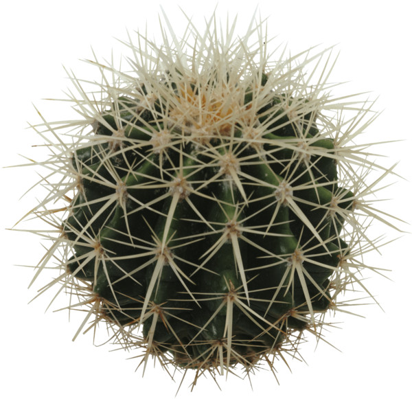 Sphere Cactus PNG Image