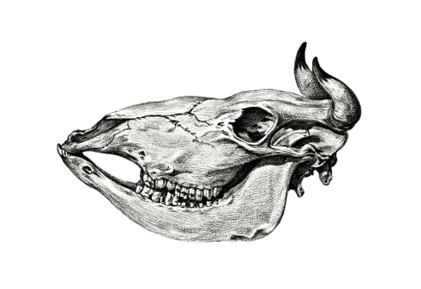 Cow Skull PNG Image