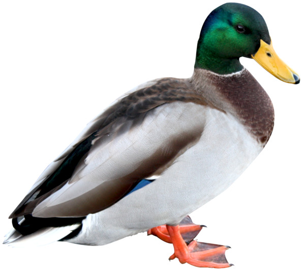 Duck Hd - Download on PNGPX