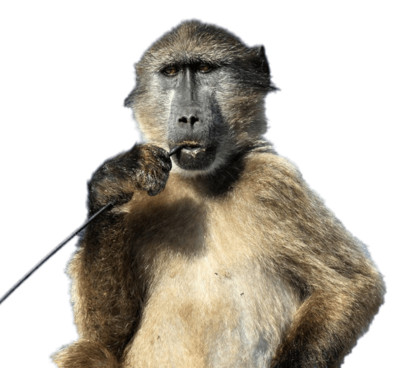 Baboon With Stick In His Mouth PNG Image