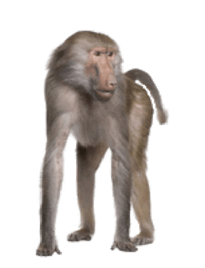 Baboon on Hands and Feet PNG Image