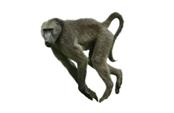 Running Baboon PNG Image
