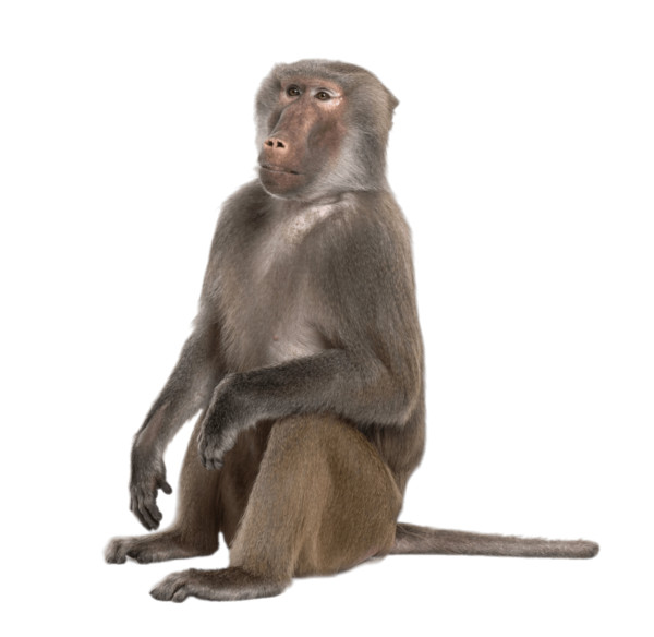 Sitting Baboon PNG Image