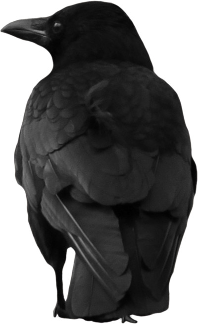 Crow Large Back PNG Image
