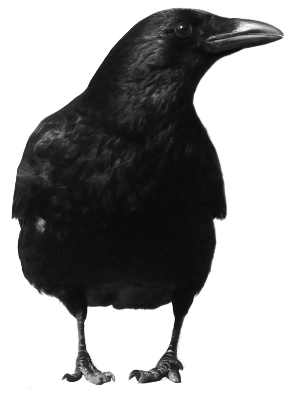 Crow Large Front PNG Image