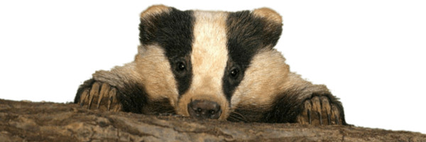 Baby Badger PNG Image
