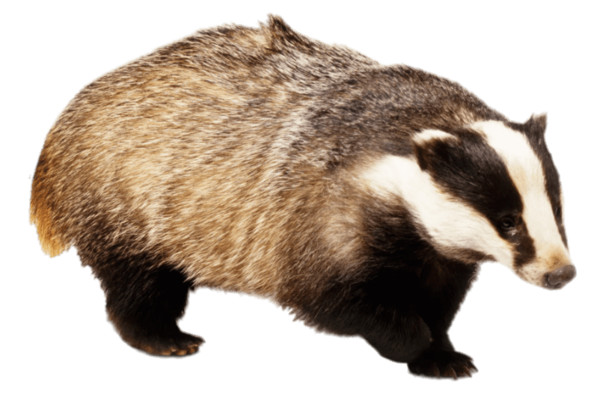 Badger With Front Paw Up PNG Image