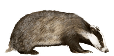 Badger Looking To the Right PNG Image