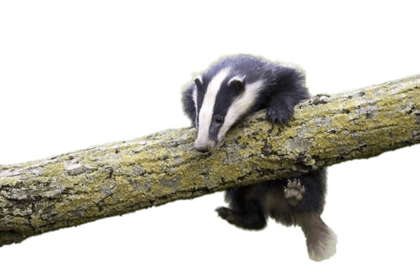 Young Badger Climbing on Log PNG Image
