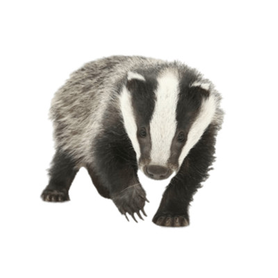 Young Badger PNG Image
