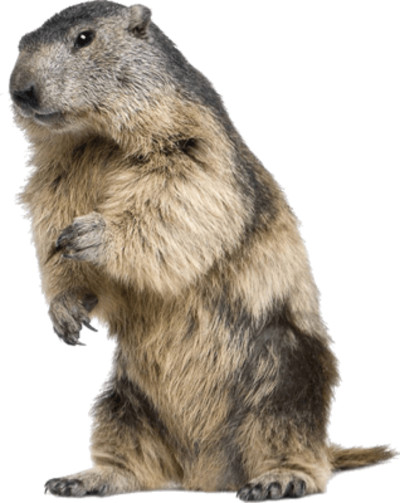 Beaver Standing PNG Image