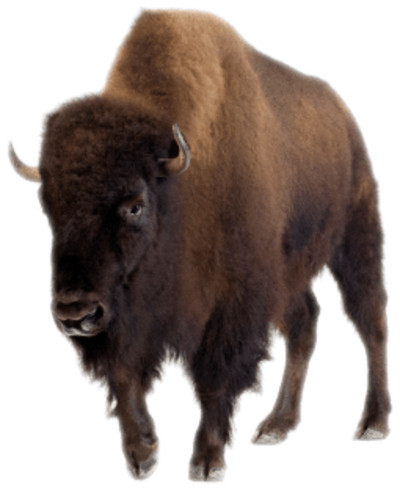 Bison Front View PNG Image