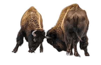 Fighting Bisons PNG Image