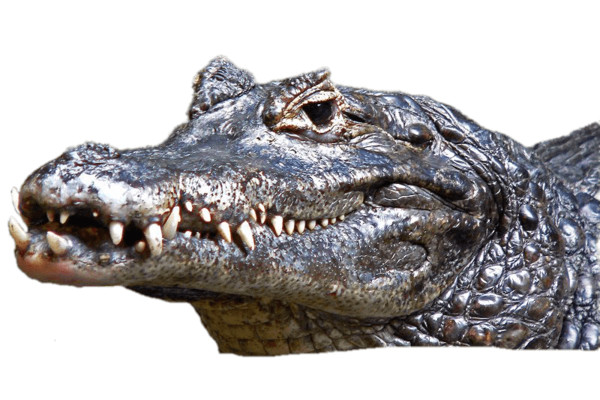 Caiman Head PNG Image