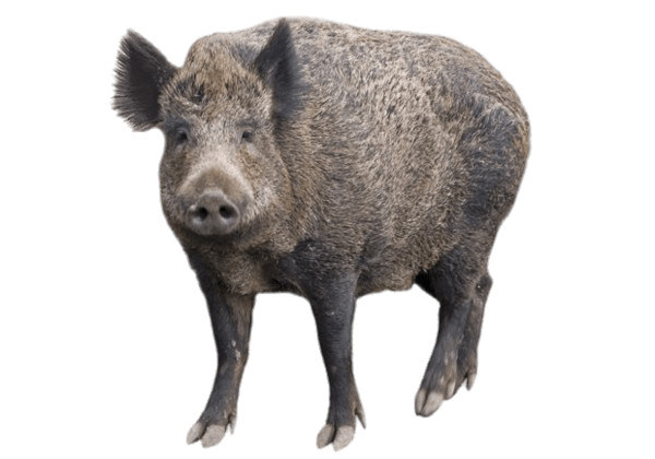 Boar With Head Turned Forward PNG Image