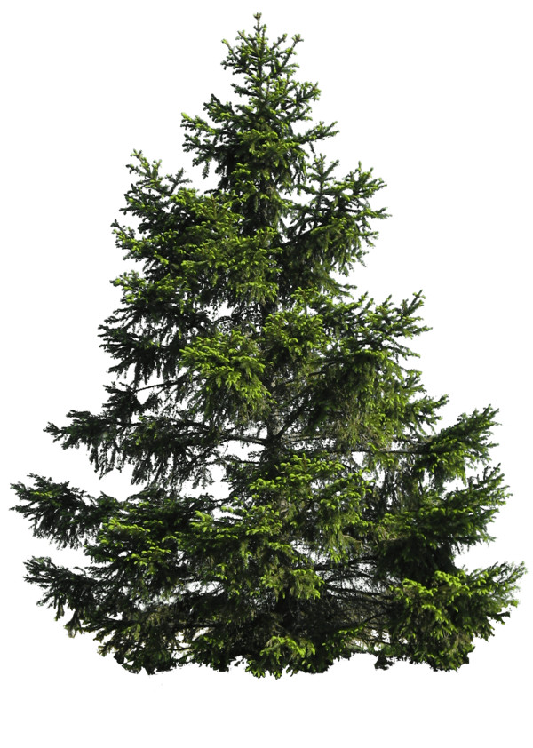 Fir Noble Evergreen Family Tree Pine  - Download on PNGPX