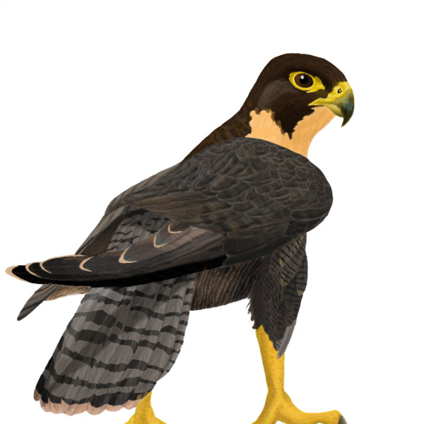 Falcon    - Download on PNGPX