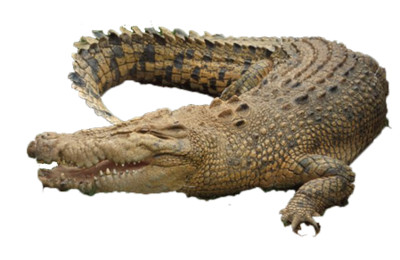 Crocodile Picture - Download on PNGPX