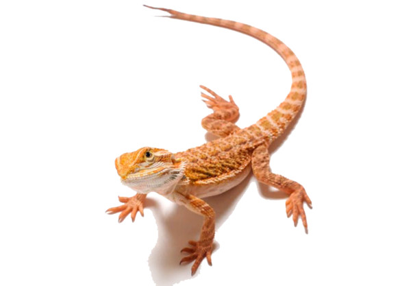 Bearded Dragon Clipart - Download on PNGPX